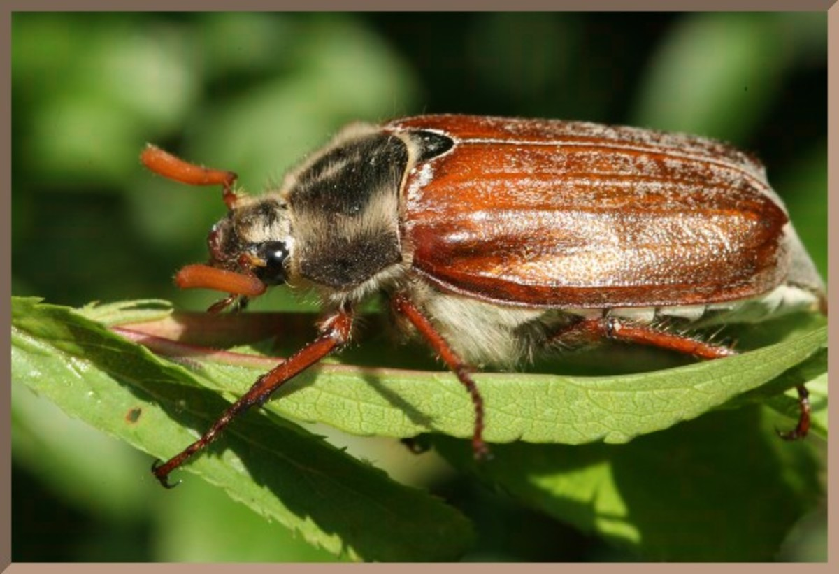 Cockchafer(may bug). adults and grubs attacks shrubs, perennials, and vegetables.