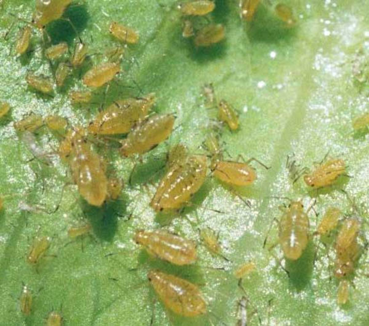 Aoot aphids. Confined chiefly to water lettuce. First symptoms are yellow and wilting leaves.