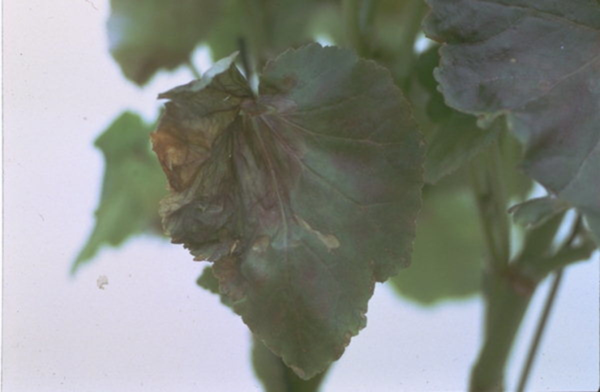 Damage to leaf caused by Strawberry Eelworm