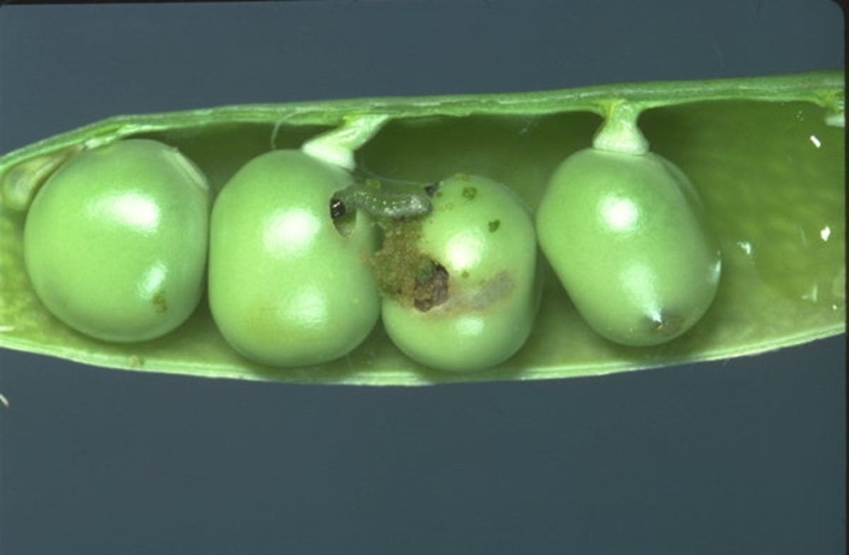Pea moth. Maggoty peas are the result of pea moth eggs laid on or near the developing pods.