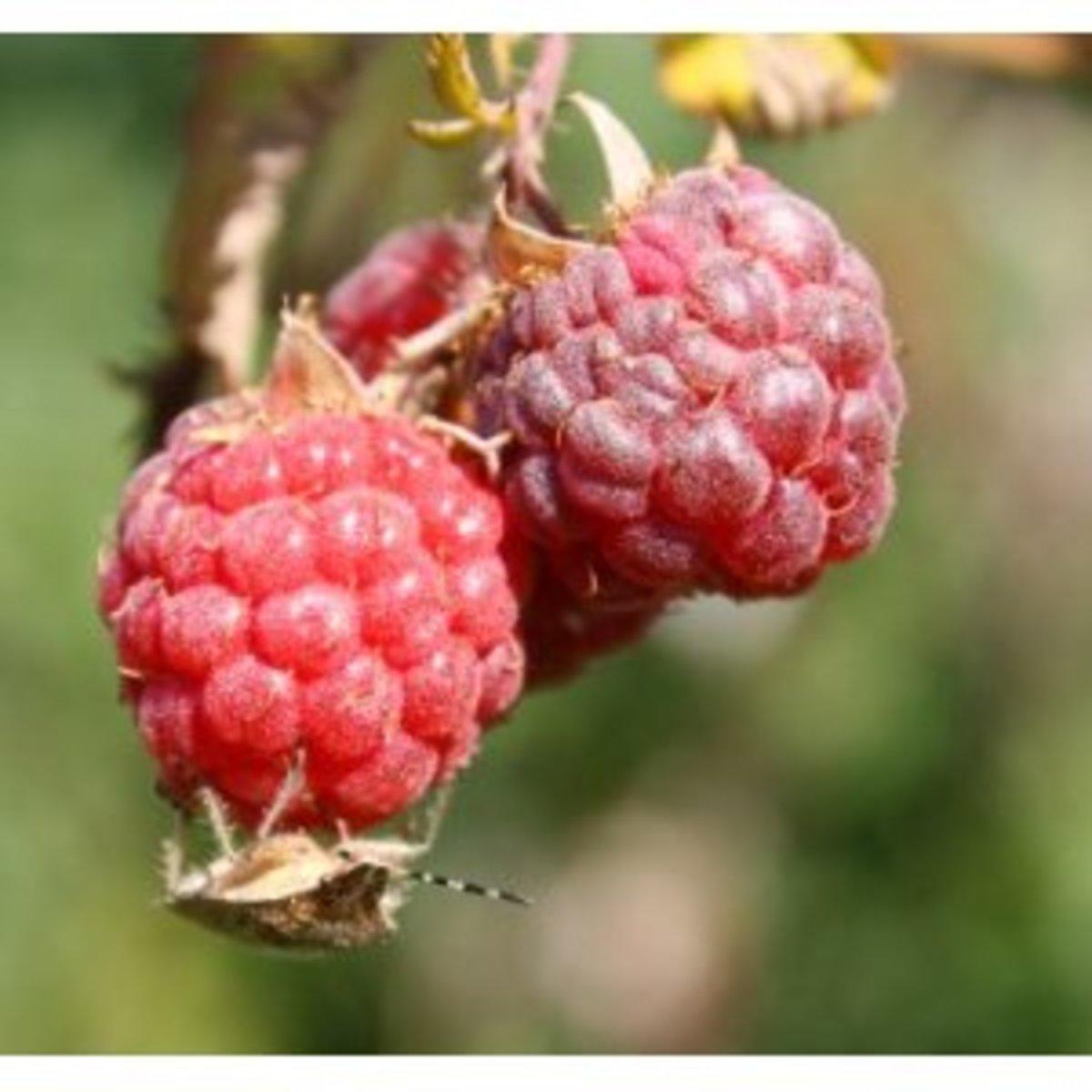 Raspberry beetle. Larvae feed on the fruits of raspberries, blackberries and loganberries.