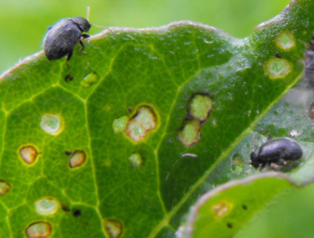 Flea beetle. Cause of holes seen in the leaves of brassica, wallflower and alyssum seedlings.