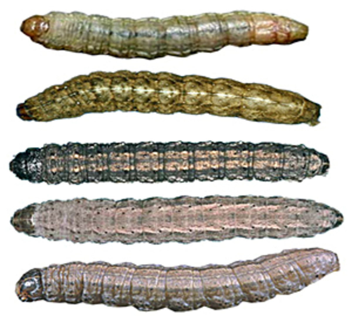 Cutworm larvae from top: sandhill cutworm, variegated cutworm, black cutworm, dingy cutworm, claybacked cutworm