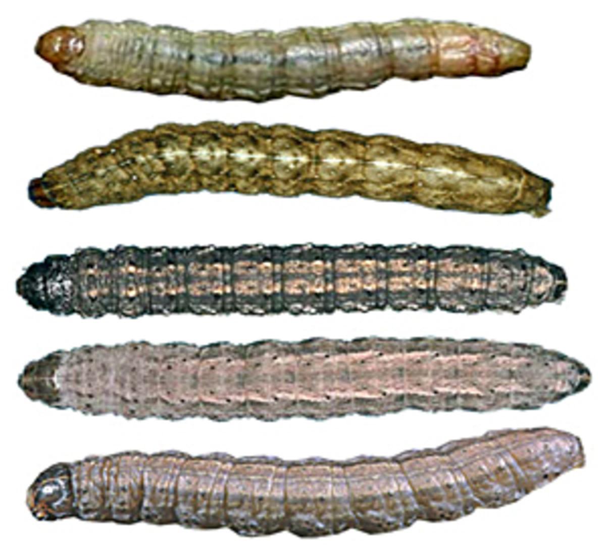 Cutworm larvae from top: sandhill cutworm, variegated cutworm, black cutworm, dingy cutworm, claybacked cutworm
