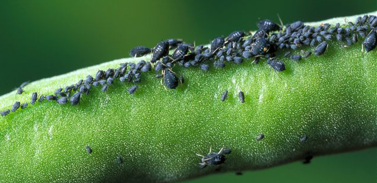 Black bean aphis (blackfly). Attacks beans, root crops, rhubarb, nasturtiums and dahlias