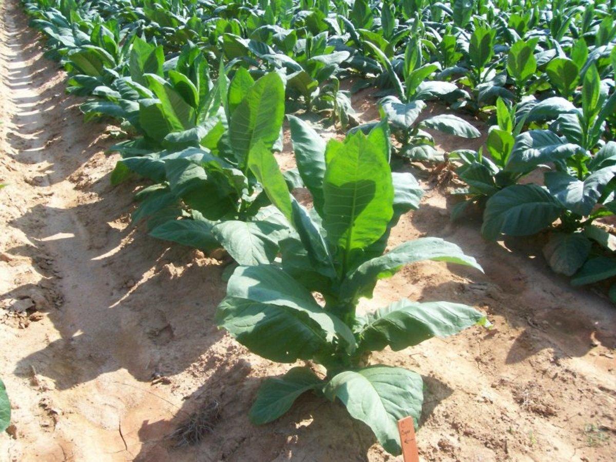 Tobacco plant.