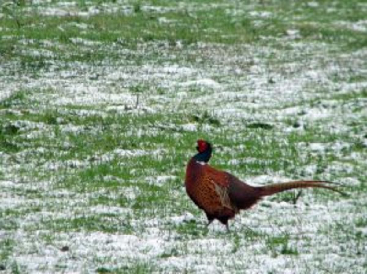 How to Start Raising Pheasants