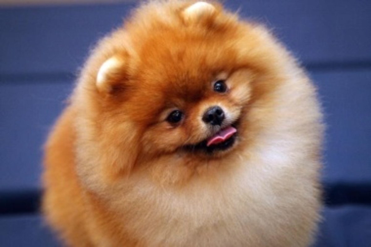 Pomeranian's are famous for their fluffy fur.