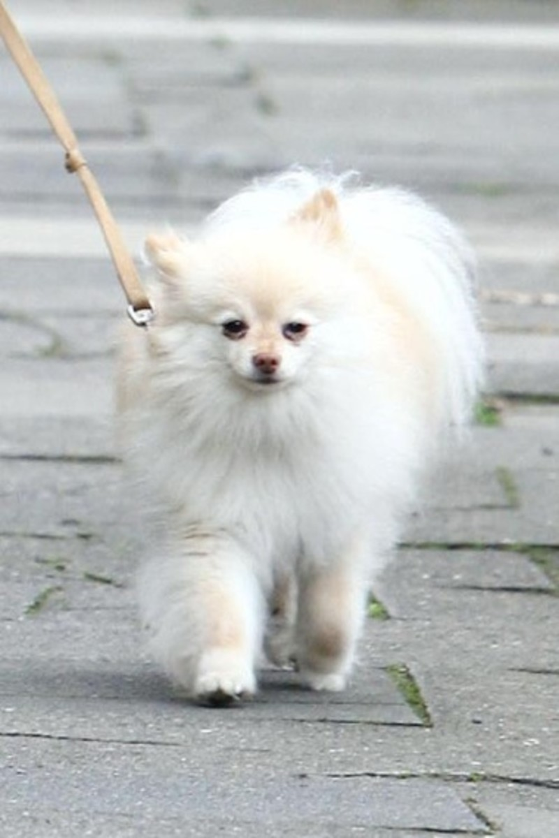 Despite being so small, Pomeranian's love to walk.