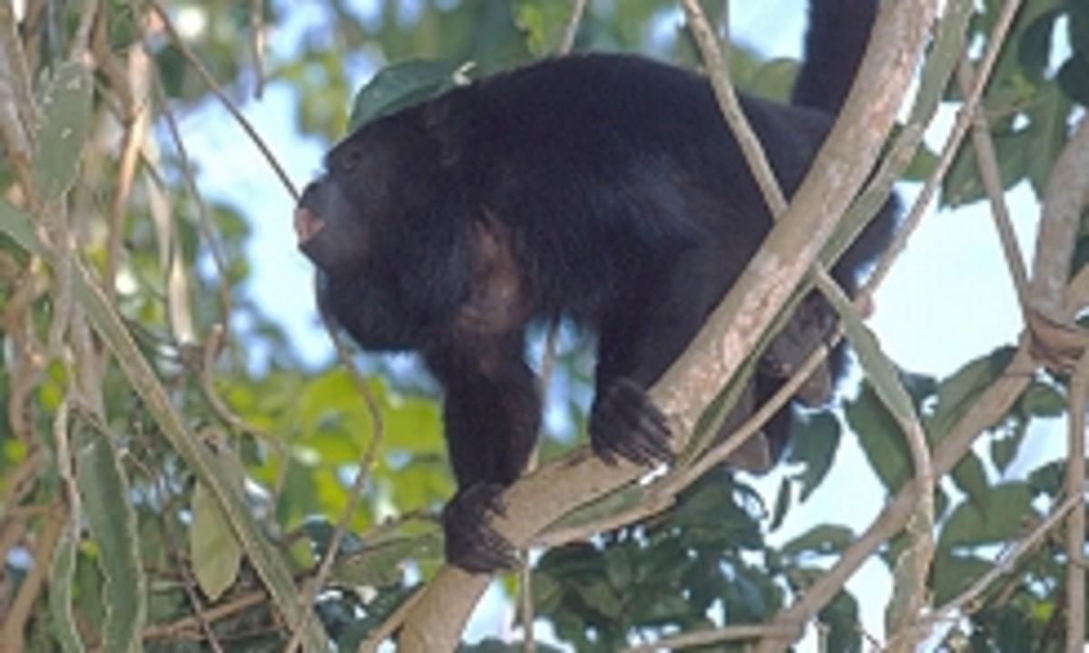 Amazonia area Howler Monkey from meskerparkzoo.com
