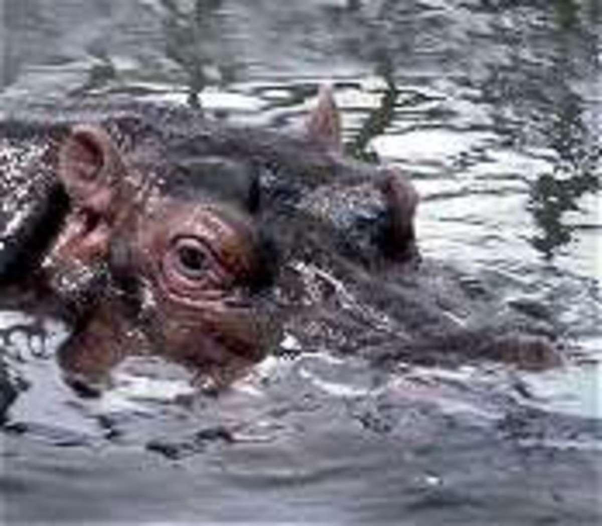 Kley area Hippopotamus from meskerparkzoo.com