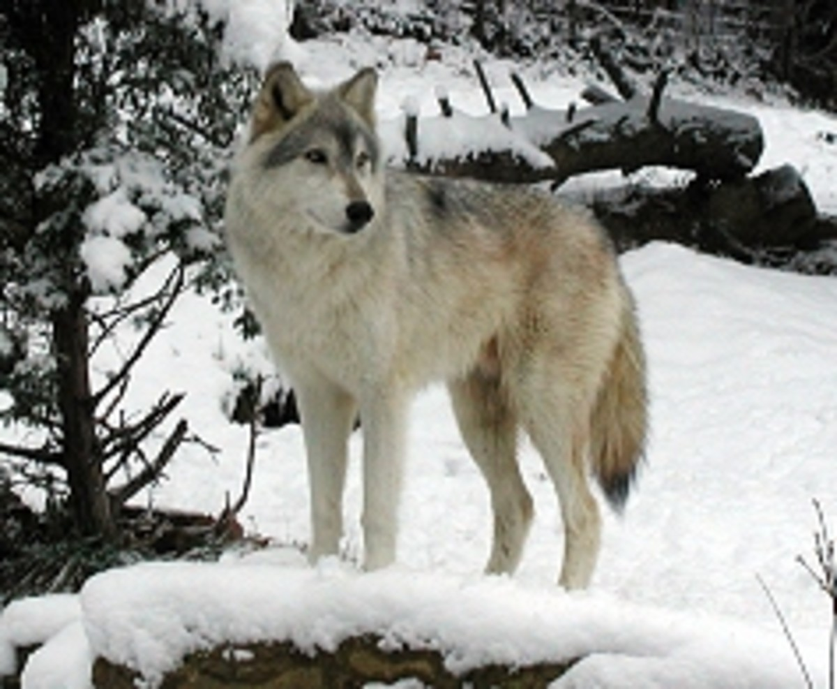 North America area Timber Wolf from mexkerparkzoo.com
