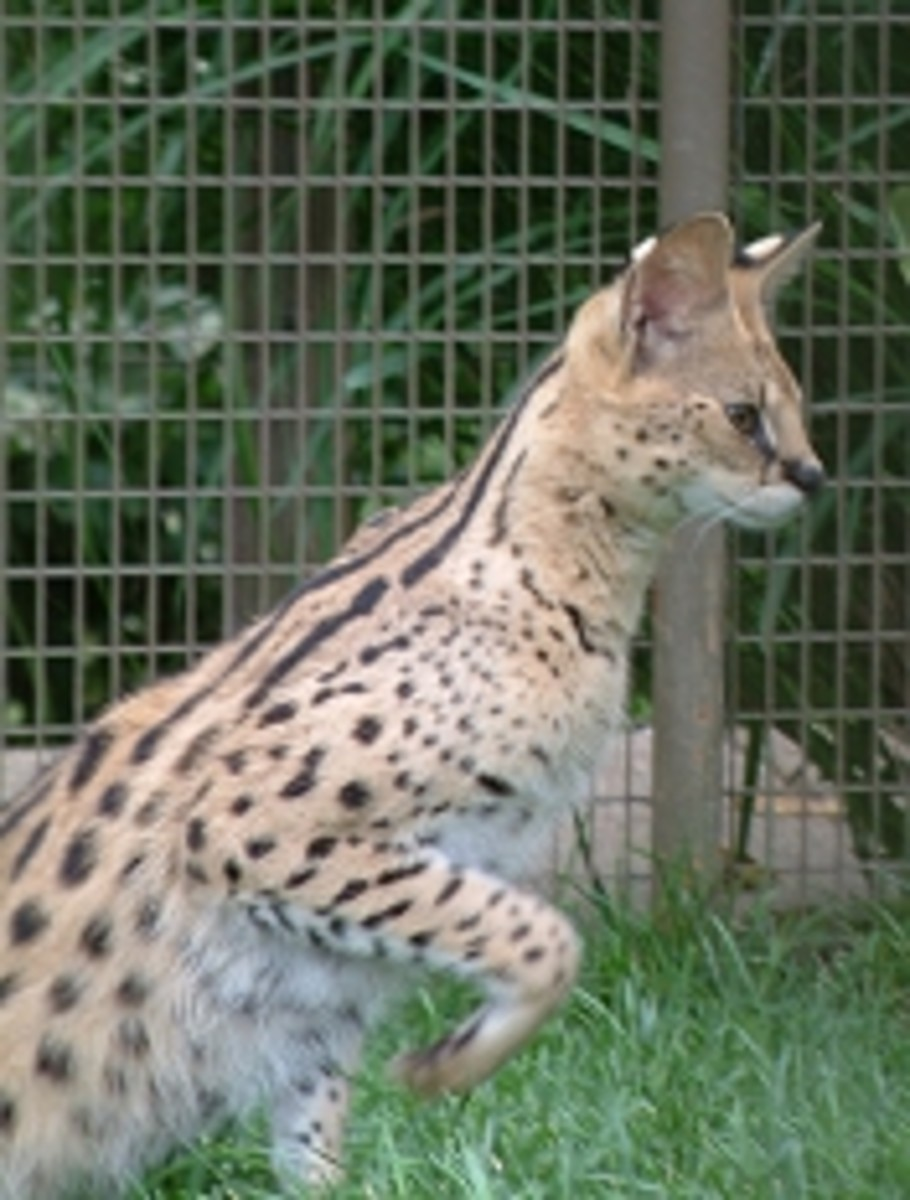 Discovery Area Serval from meskerparkzoo.com