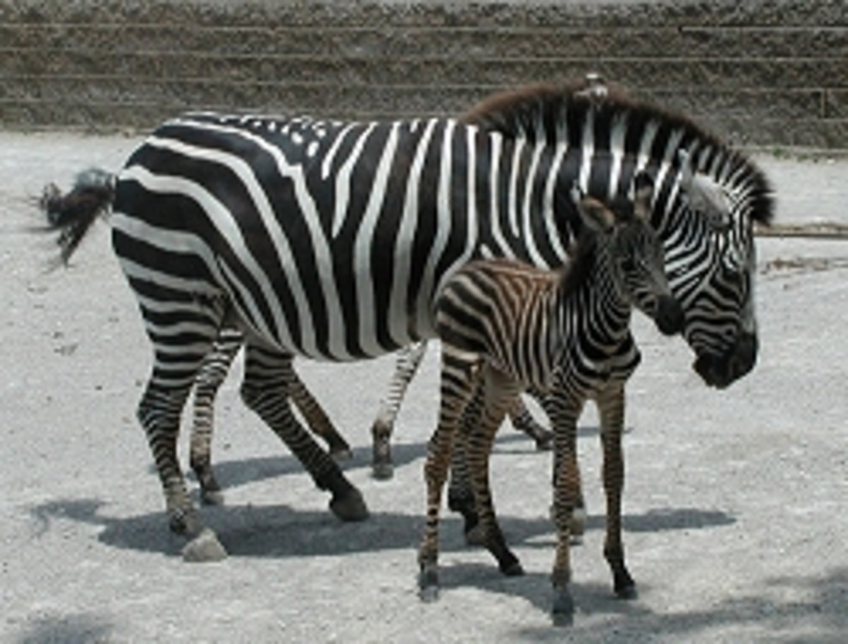 African Rift area Zebra from meskerparkzoo.com