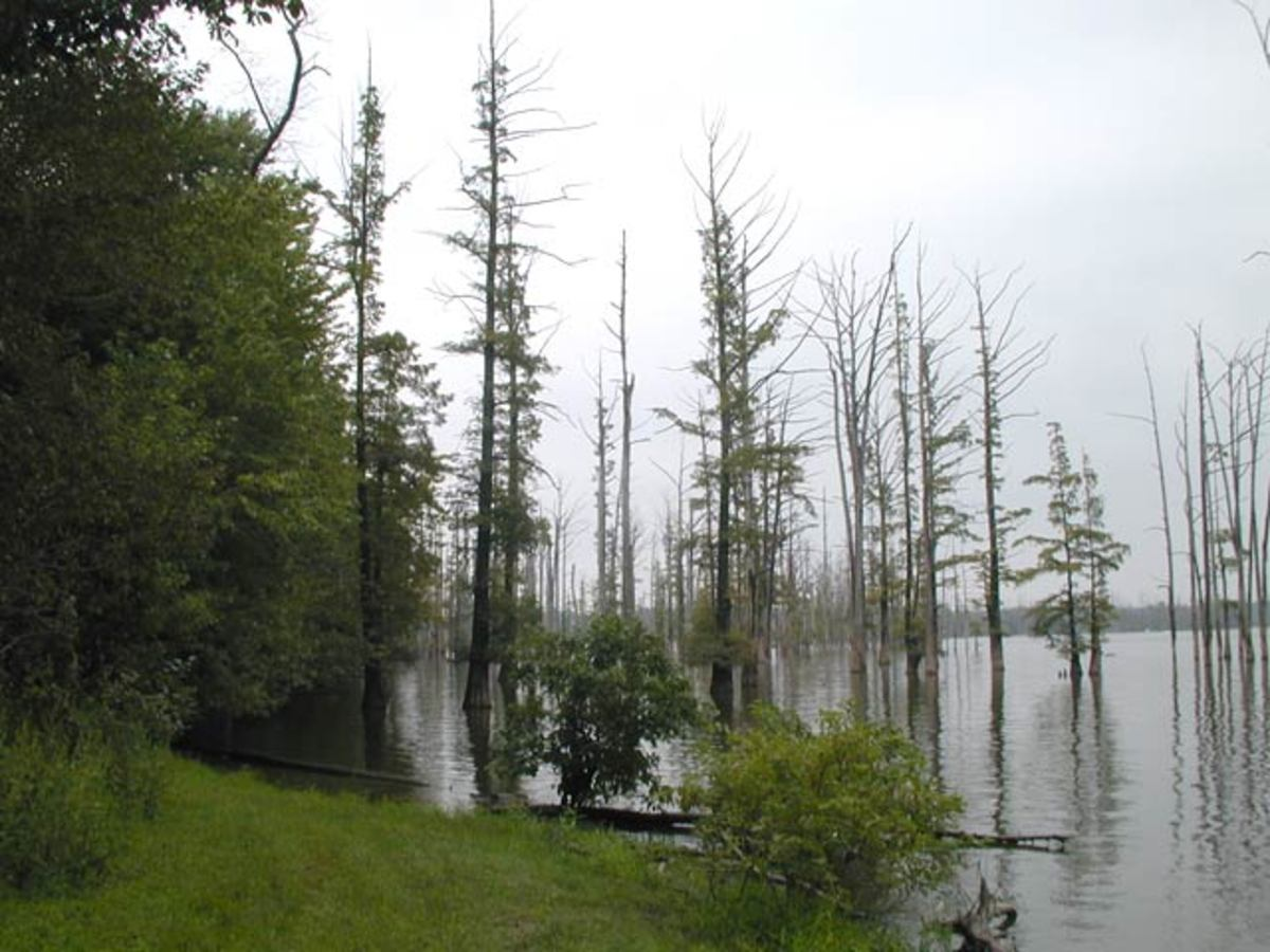Cypress Trees at Hovey Lake from Indiana.edu