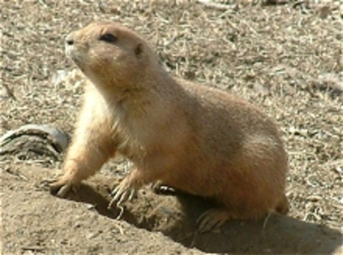 North America area Prairie Dog from meskerparkzoo.com