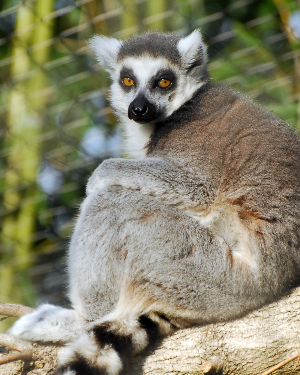 African Rift area Ring Tailed Lemur from meskerparkzoo.com