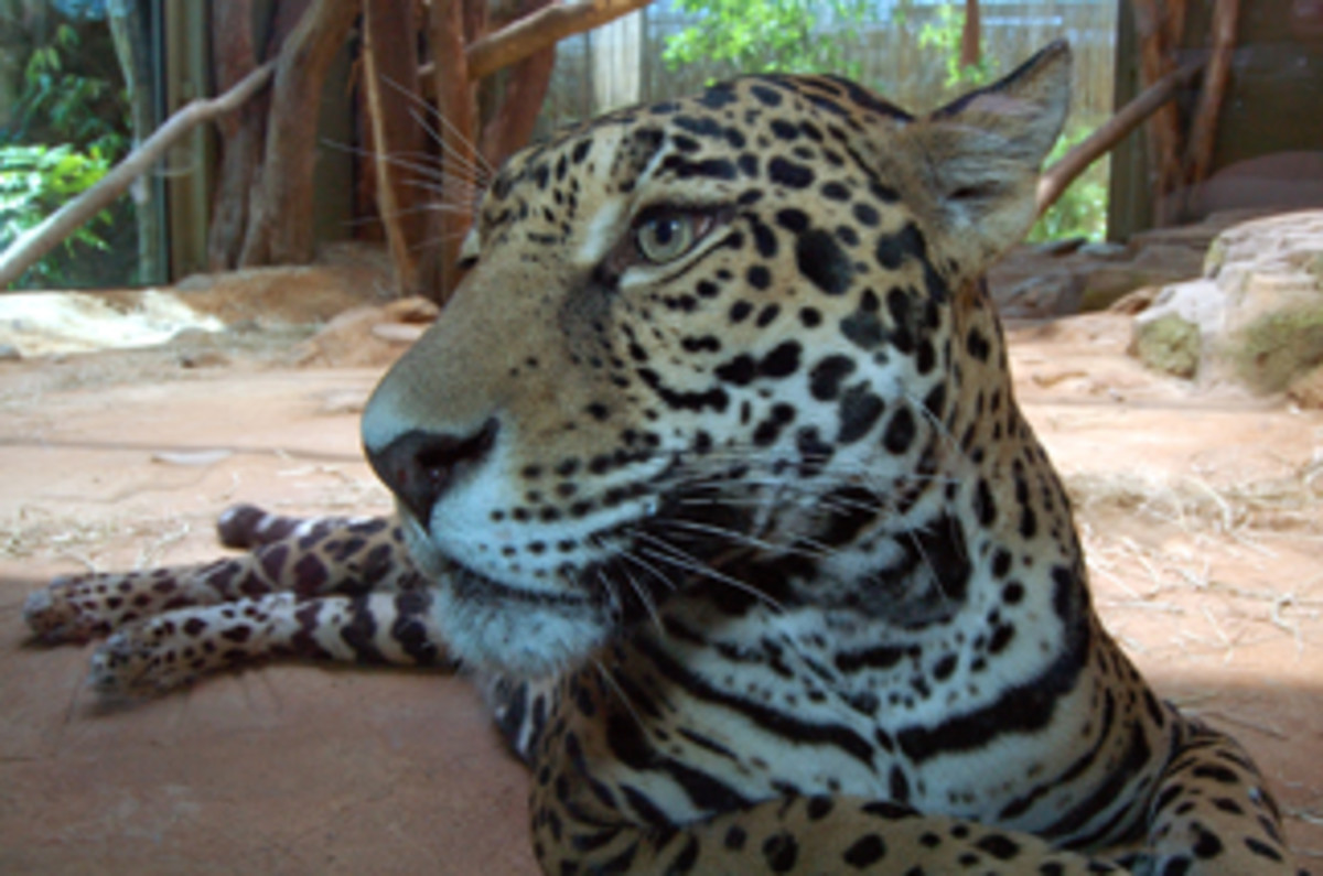 Amazonia area Jaguar from meskerparkzoo.com