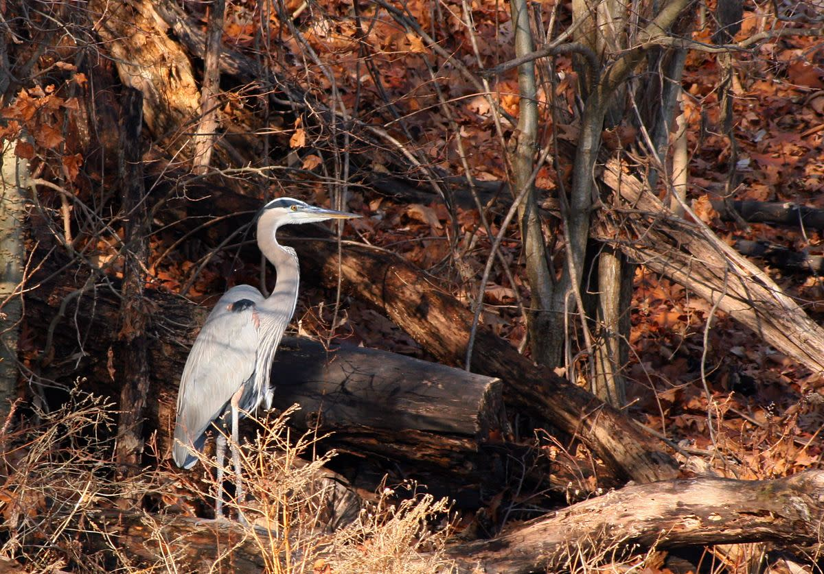 Wildlife at Burdette Park, a Heron from canongurl.com