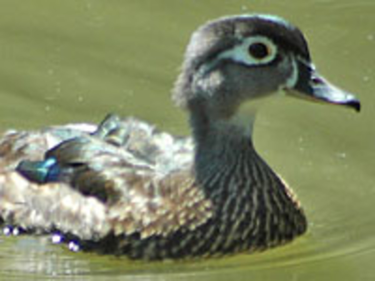 Wood Duck seen on Pigeon Creek from wesselmannaturesociety.org