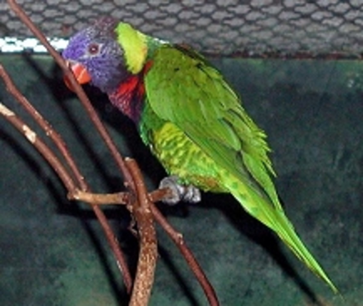 Asia and Australia area Rainbow Lorikeet from meskerparkzoo.com