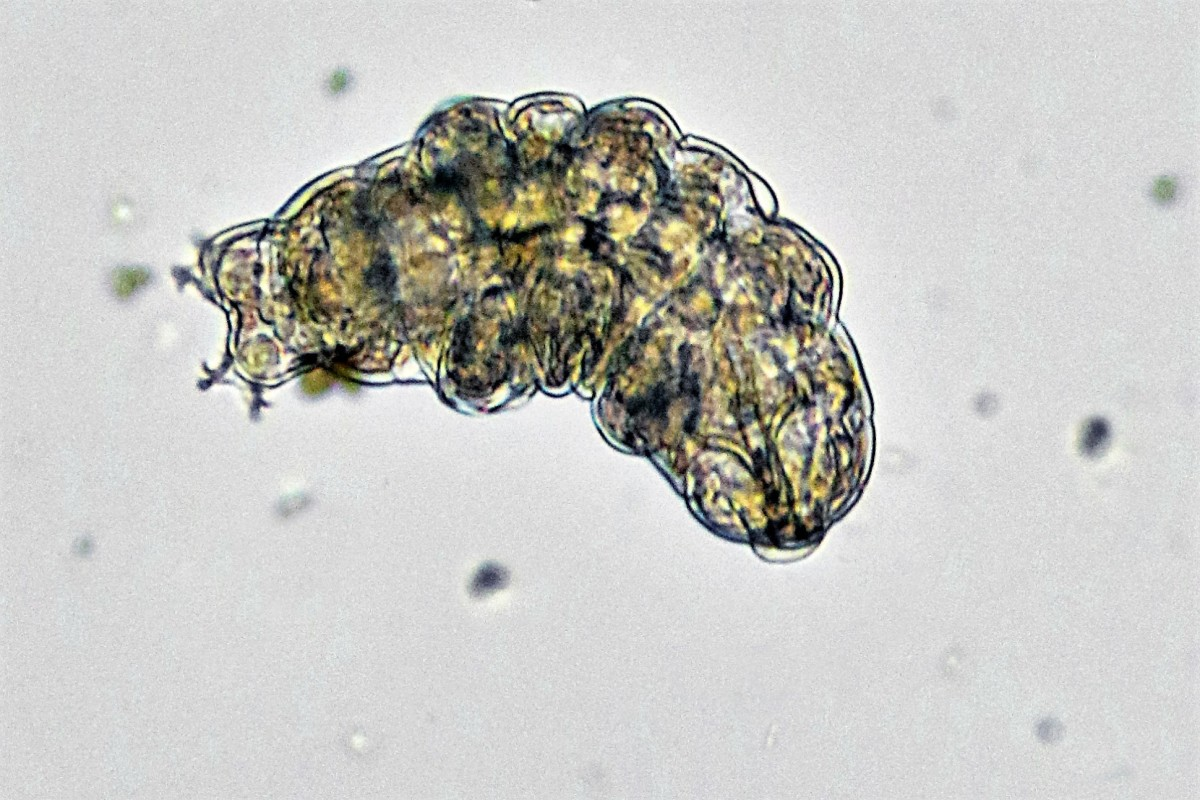 A dorsal or top view of a tardigrade (unknown species)