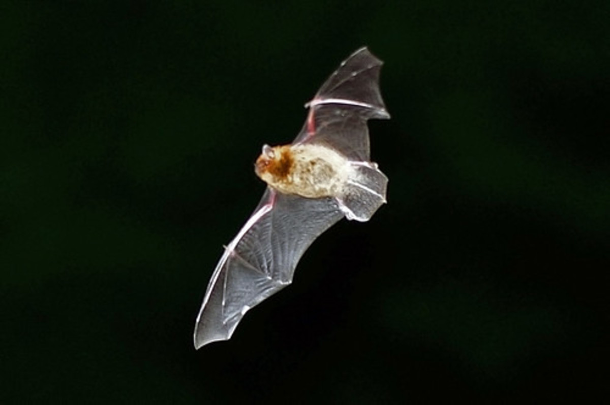The Folklore of Bats