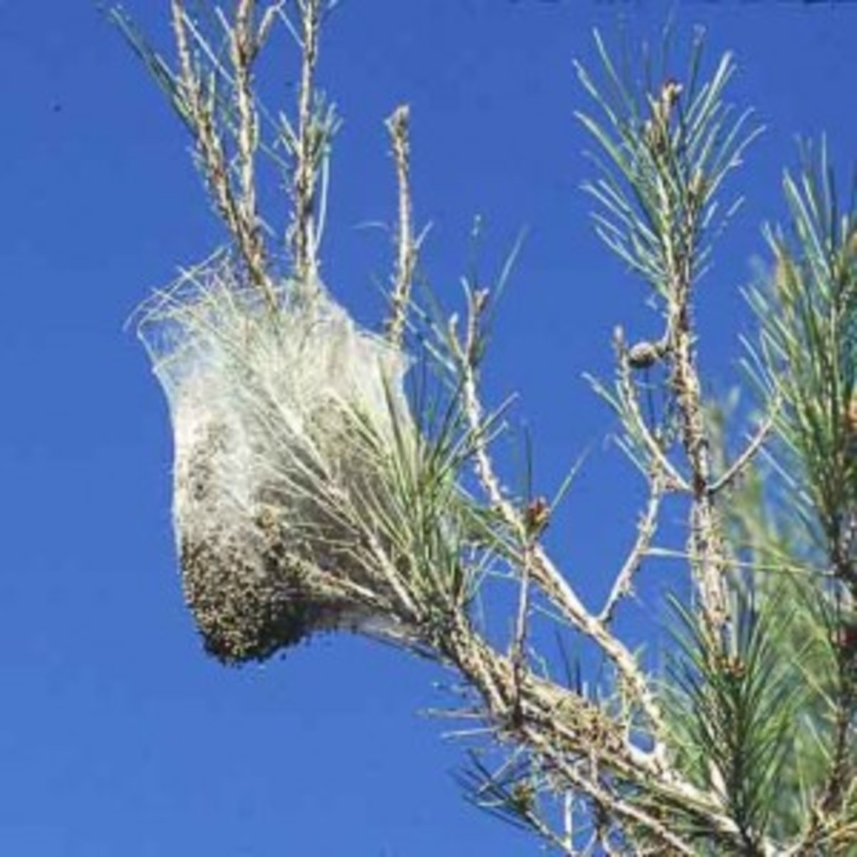 A Caterpillar Nest