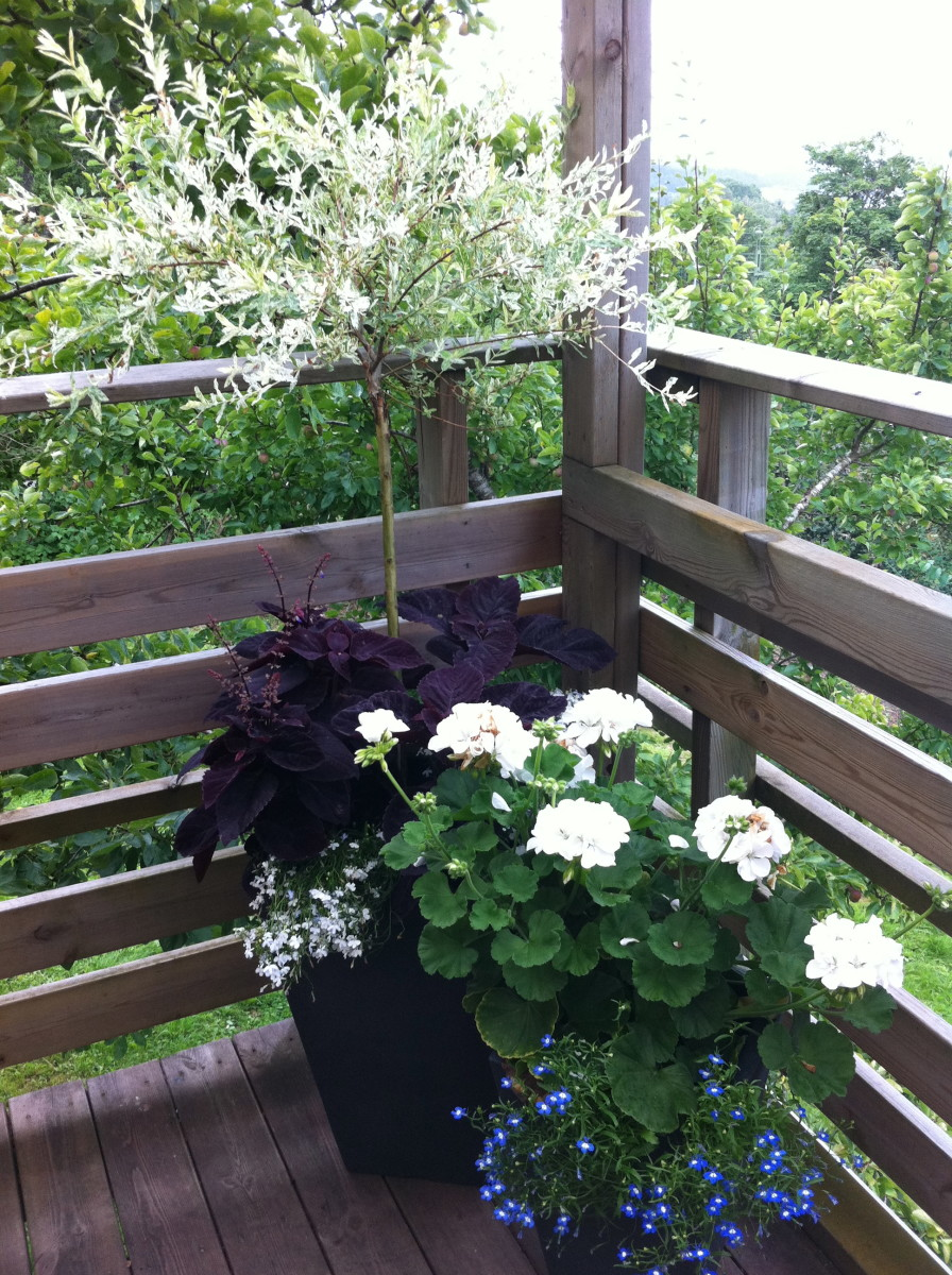 I love the contrast between the deep purple Velvet Night and a white pelargonium!