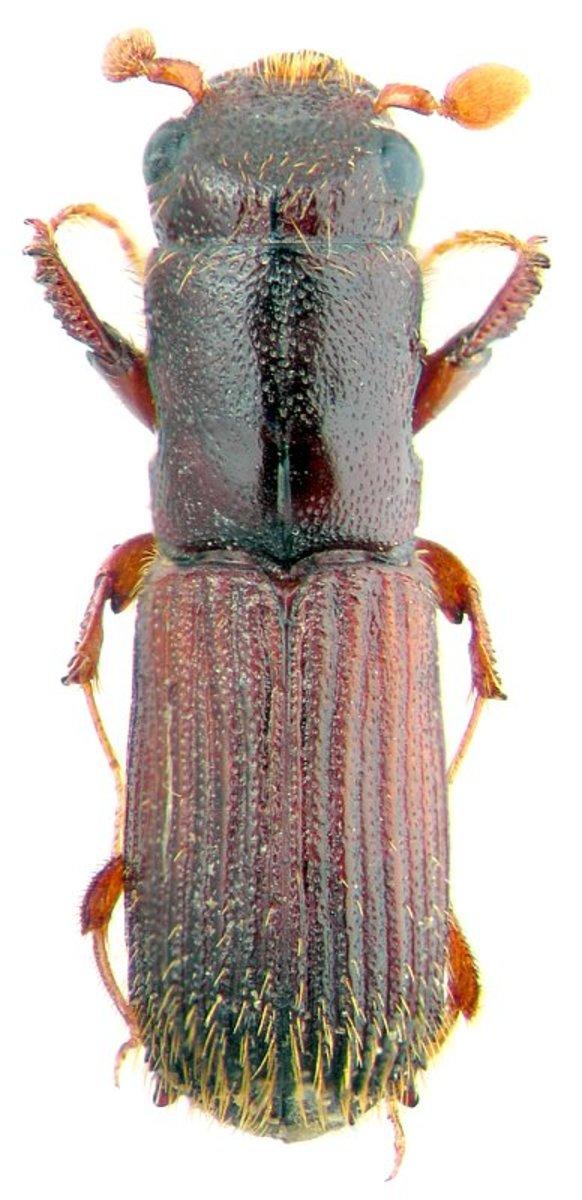 Platypodidae