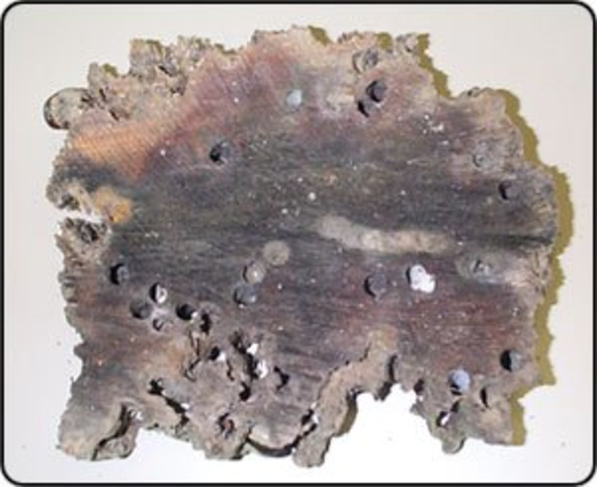 wood with evidence of marine borers