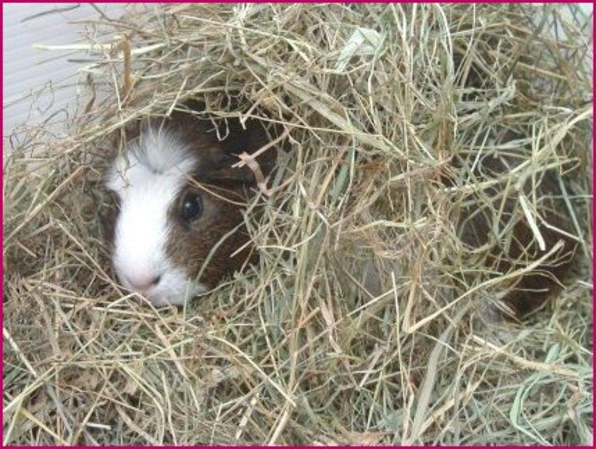 guinea-pig-bedding
