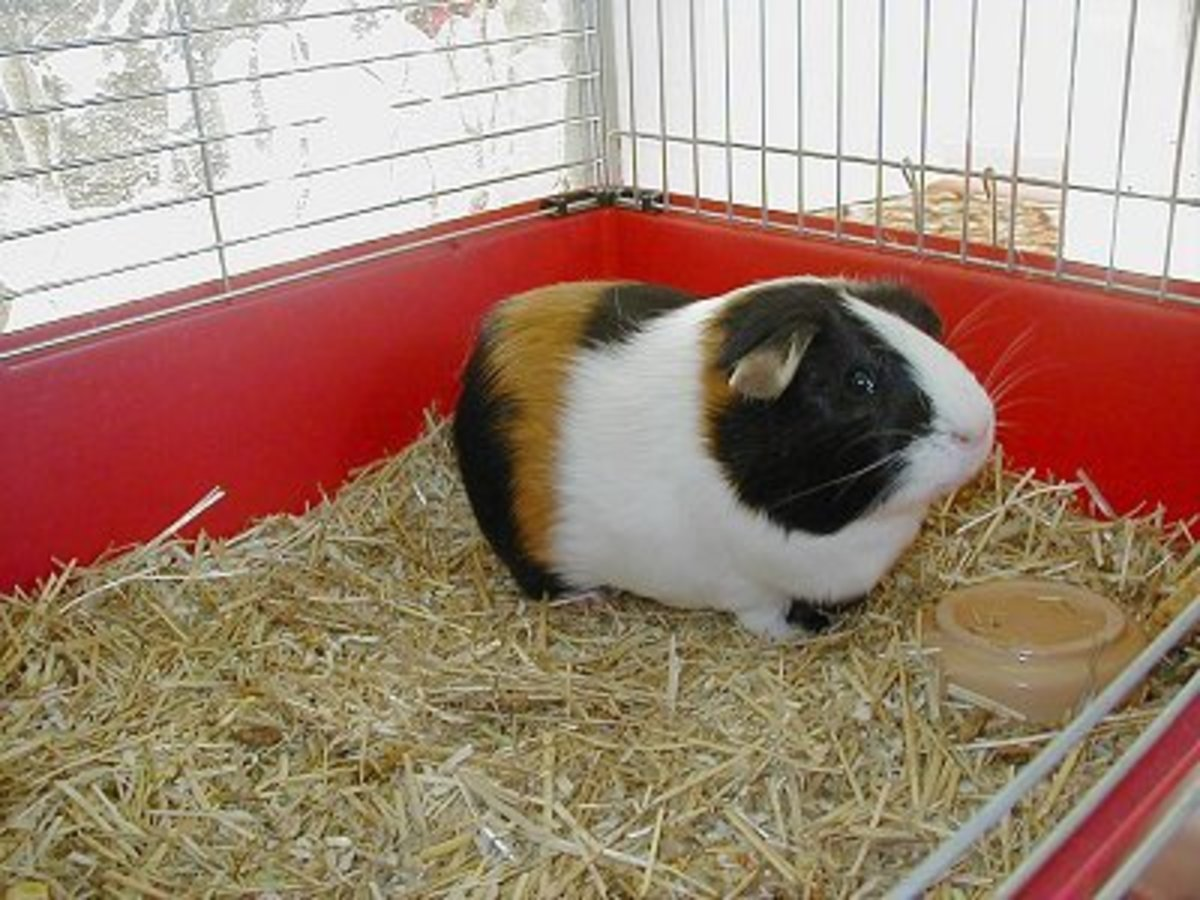 Guinea pig sitting in his bedding.