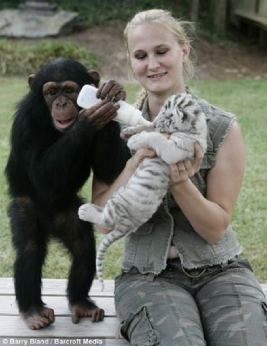 Chimpanzee Anjana assists in caring for tiger cubs at The Institute of Greatly Endangered and Rare Species (TIGERS) in South Carolina
