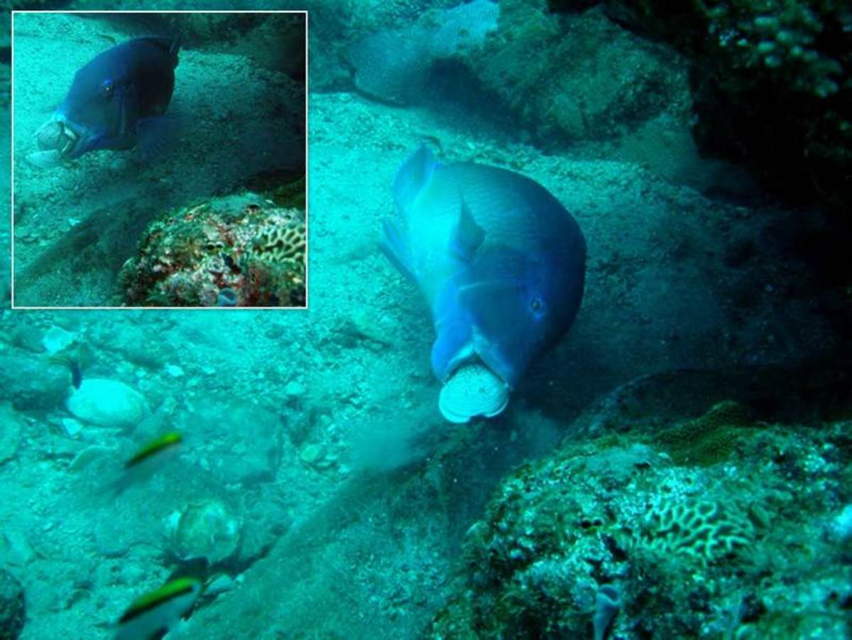 Blackspot tuskfish banging a clam against a rock to crack it open