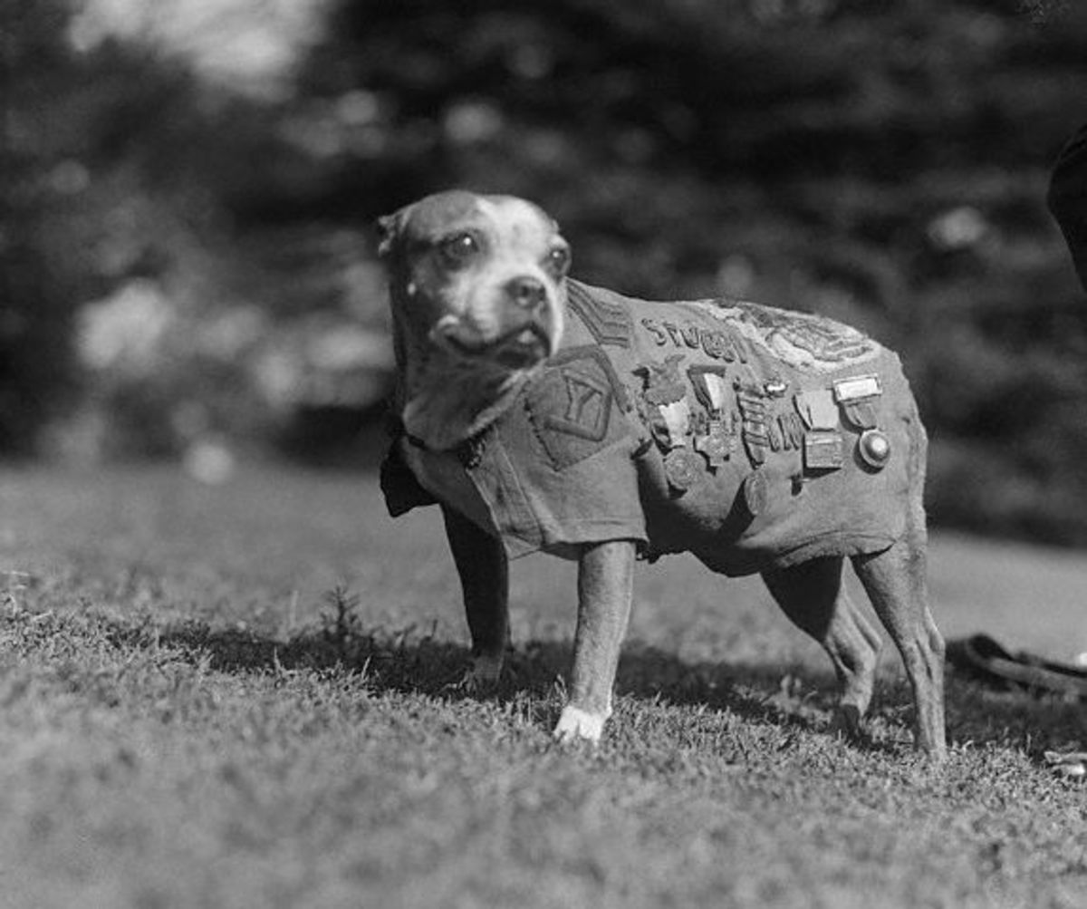 Sergeant Stubby wearing his uniform and medals