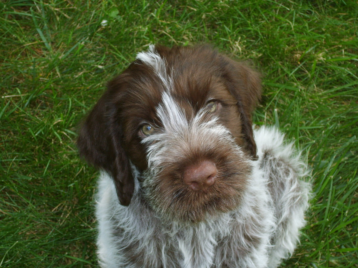 Our Wirehaired Pointing Griffon Dog