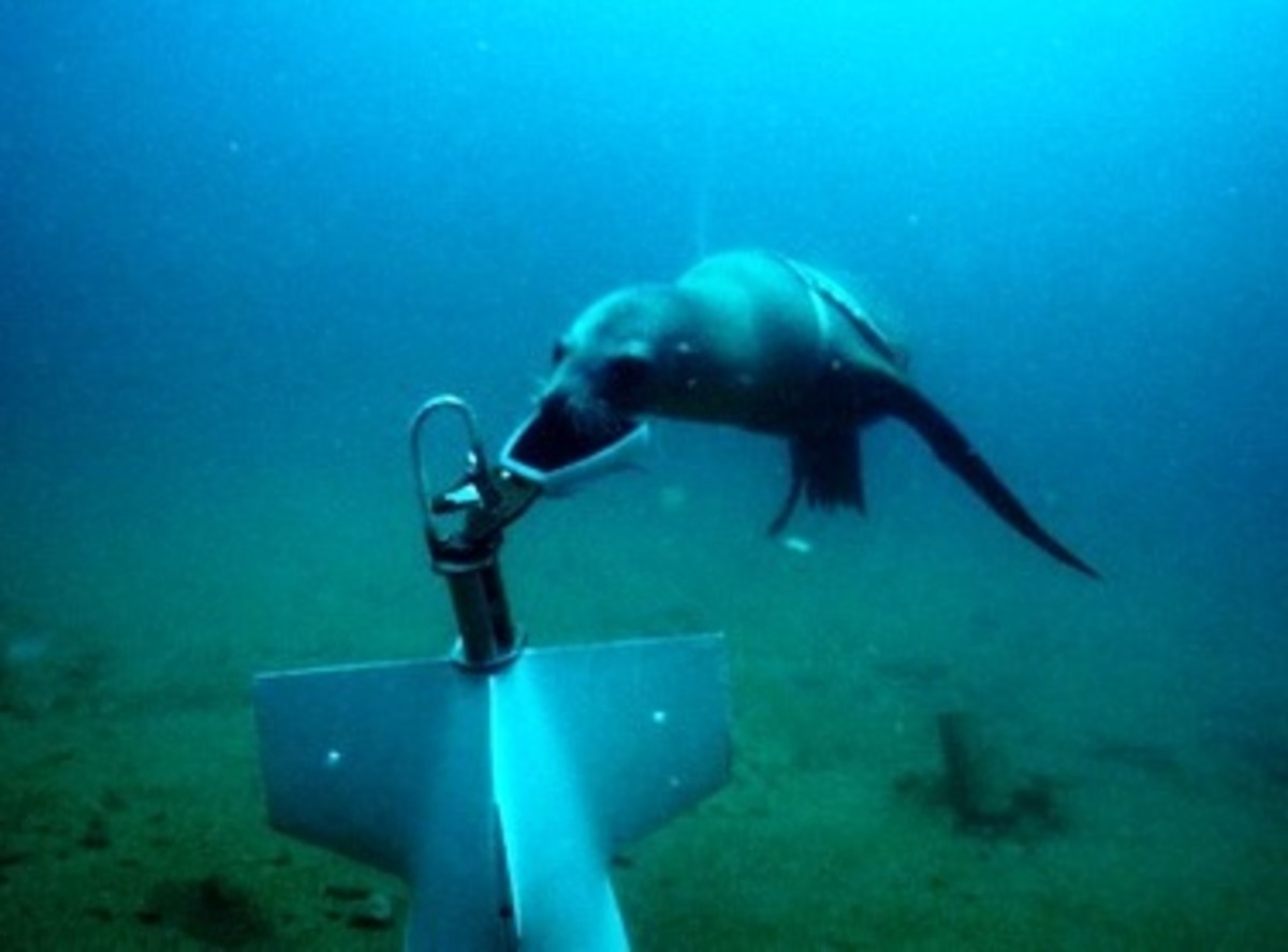This sea lion demonstrates his minesweeping skills by swimming down to a fake mine and putting a clamp onto the device, so that handlers from the U.S. Navy's Space and Naval Warfare Systems Center Pacific could reel it in