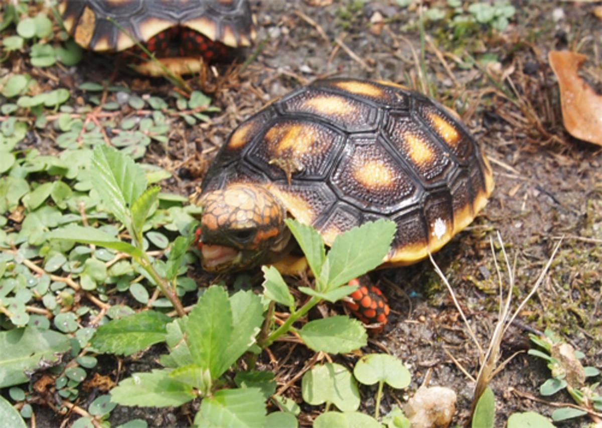 respiratory-tnfection-turtles