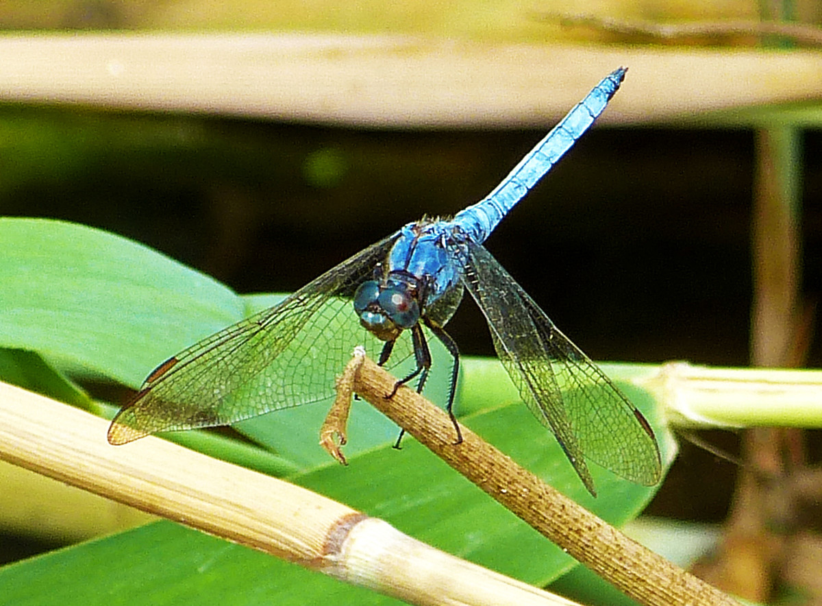 A Dragonfly taken by the river walk in Villajoyosa