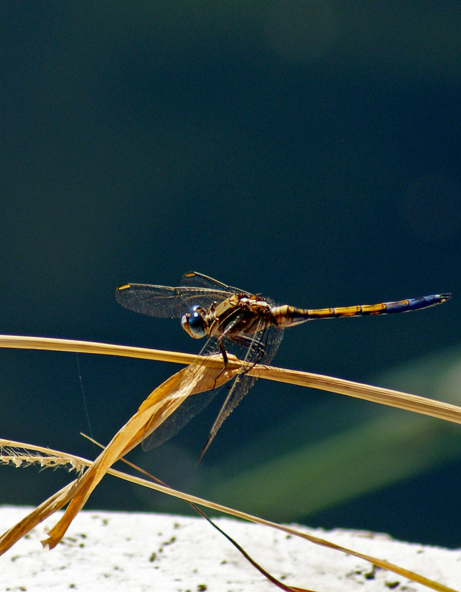 the-lifecycle-of-the-dragonfly