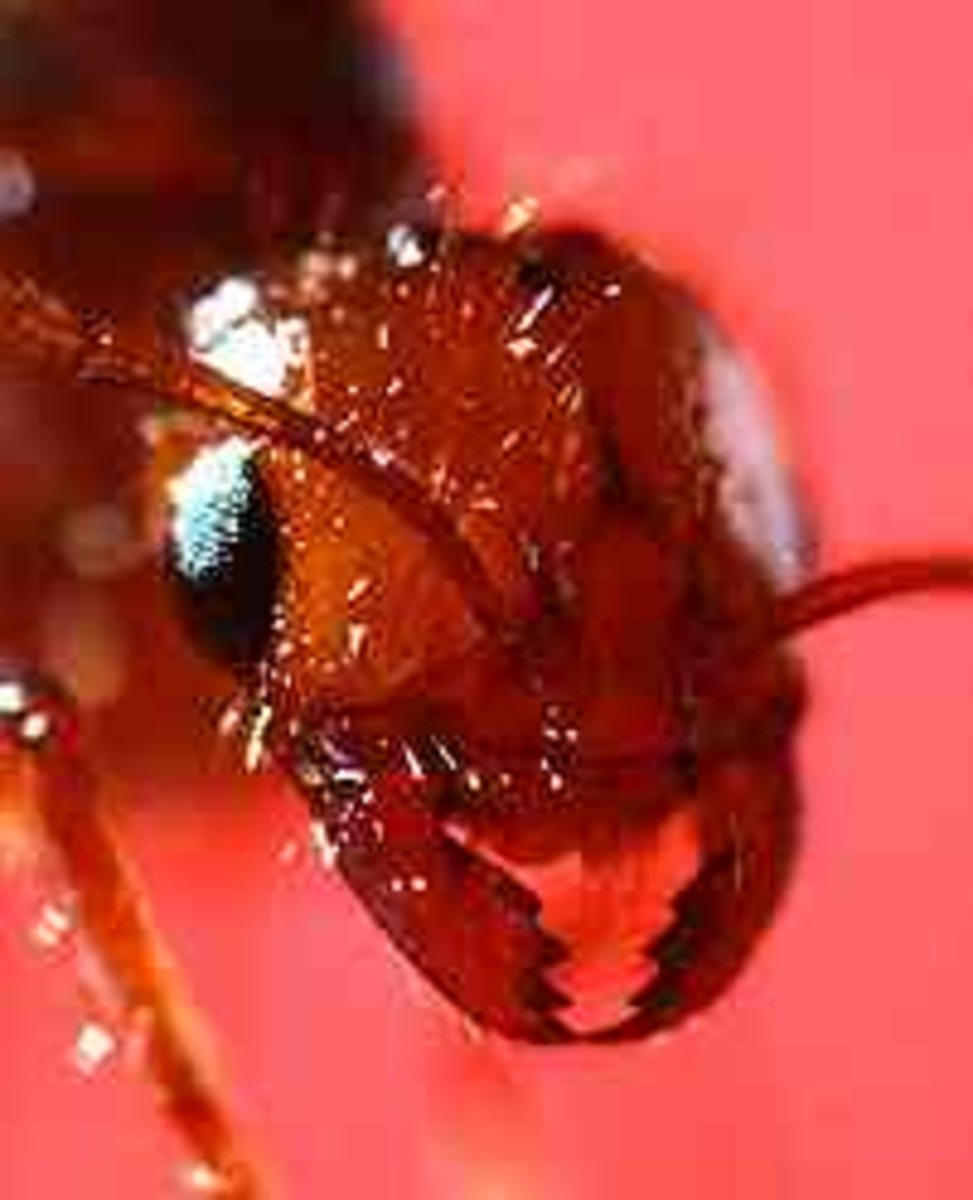 The fire ant will attach its mandibles to your skin, raise its rear end and drive its stinger into your skin - Photo courtesy of the United States Department of Agriculture