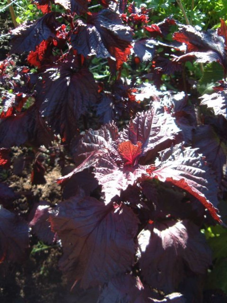The red type of shiso is often used for making drinks, as it gives liquids a nice pink-purple color.