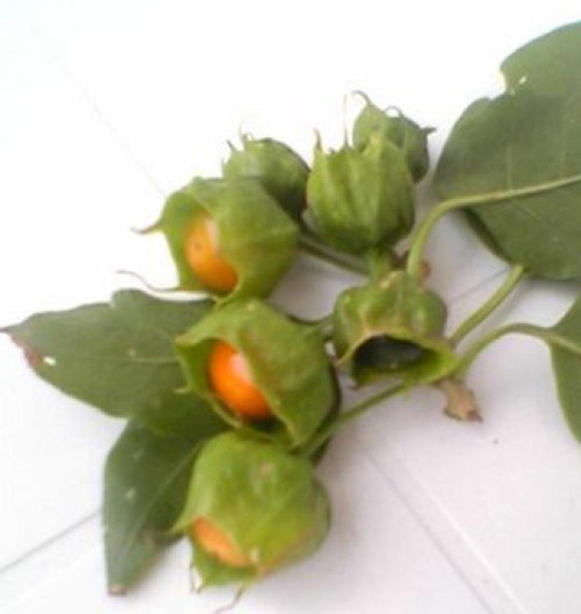 Orobal berries