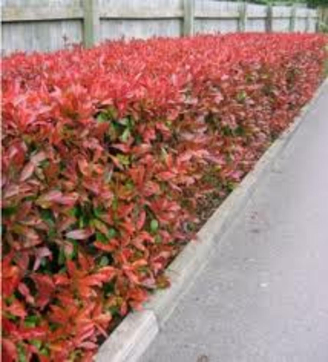 Colourful Hedge Plants