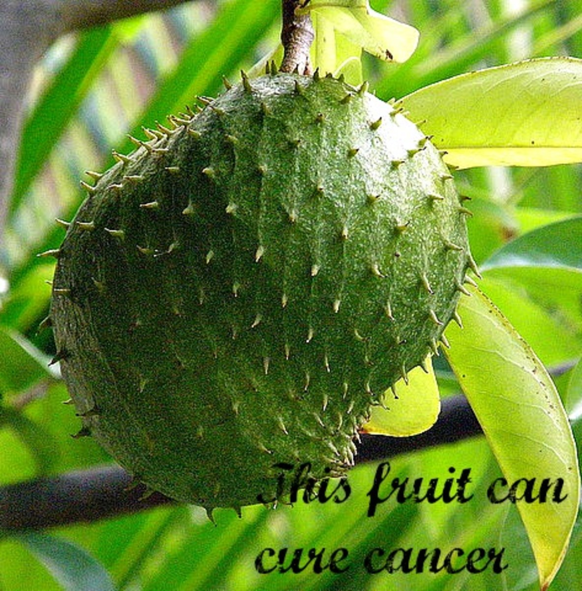 Cancer Cure : Soursop