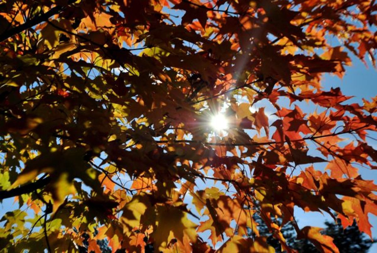 Sunlight through red fall leaves