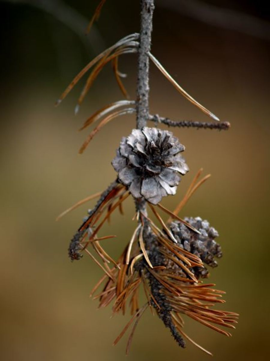 One of my favorite images - a fir cone in October