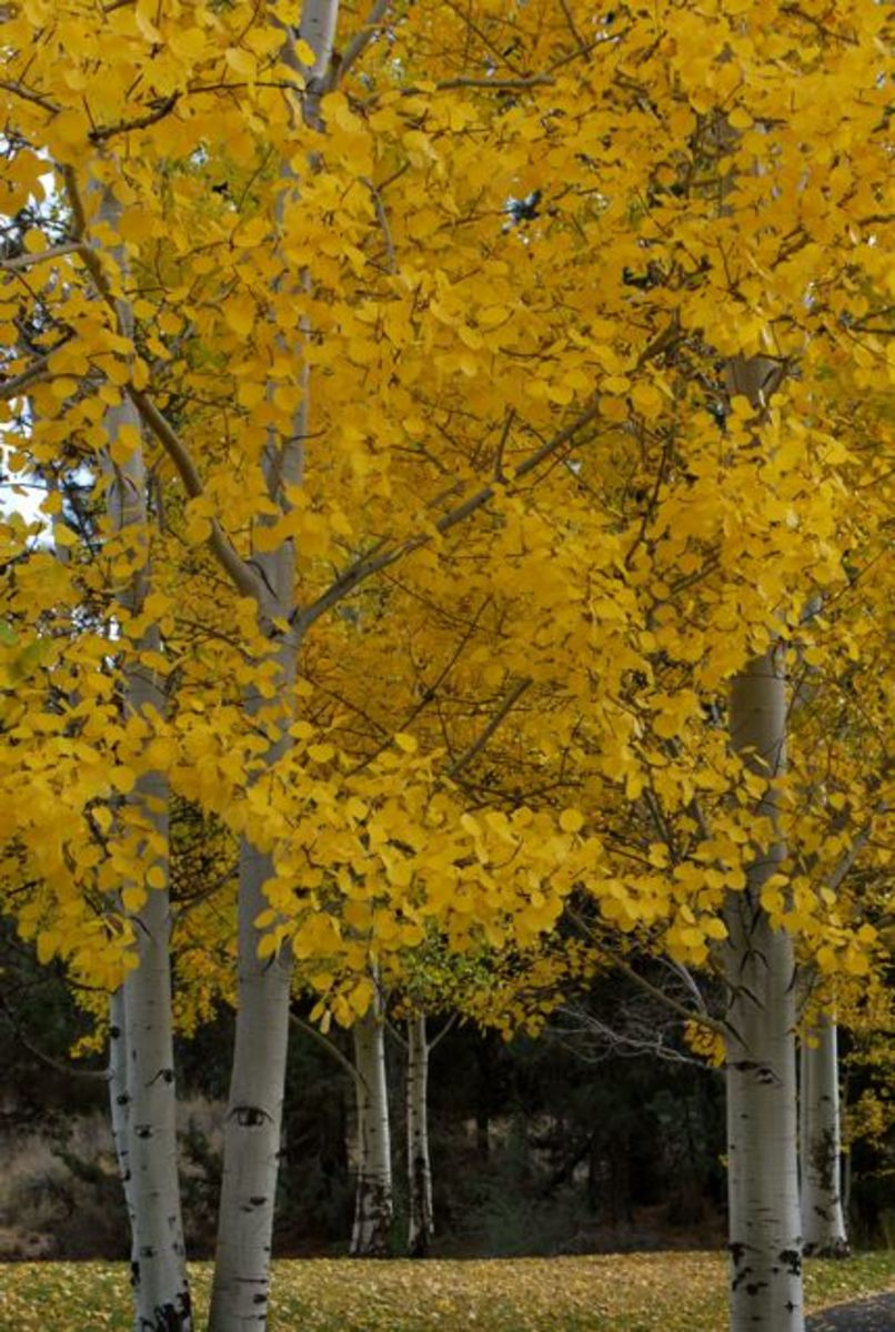 Groups of autumn trees line a walkway