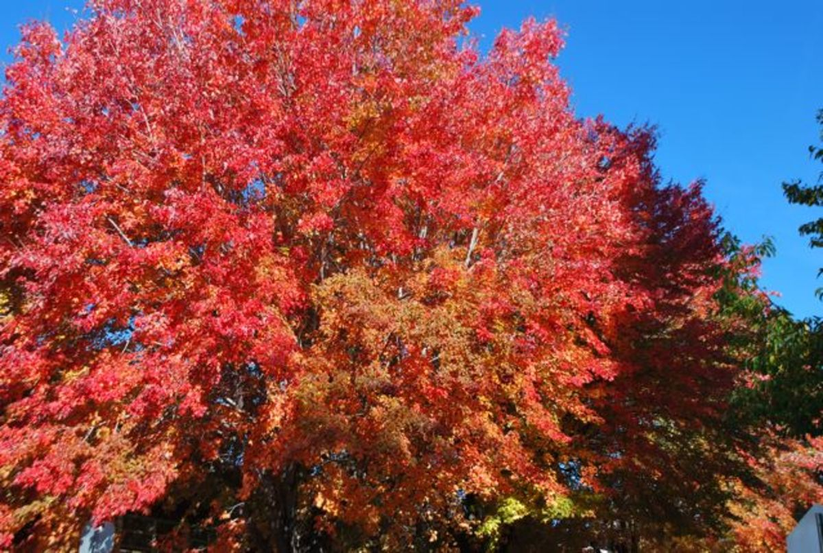 Brilliant red fall colors